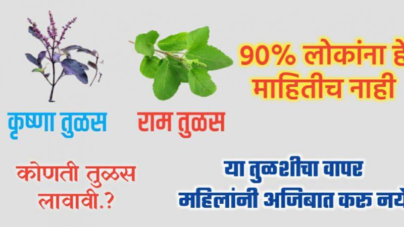90 टक्के लोकांना माहीतच नाही कृष्ण तुळस आणि राम तुळशीमधील फरक.!